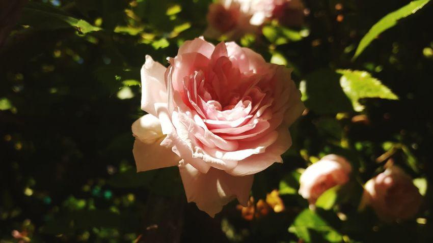Roses Rose🌹 Rose - Flower Rose♥ Rose Garden Rose Collection Flowers Flower Flowerporn Flower Collection Fleurs Fiore Fiori Rosa Taking Pictures Enjoying Life EyeEm Nature Lover EyeEm Best Shots EyeEm Gallery Galaxys6