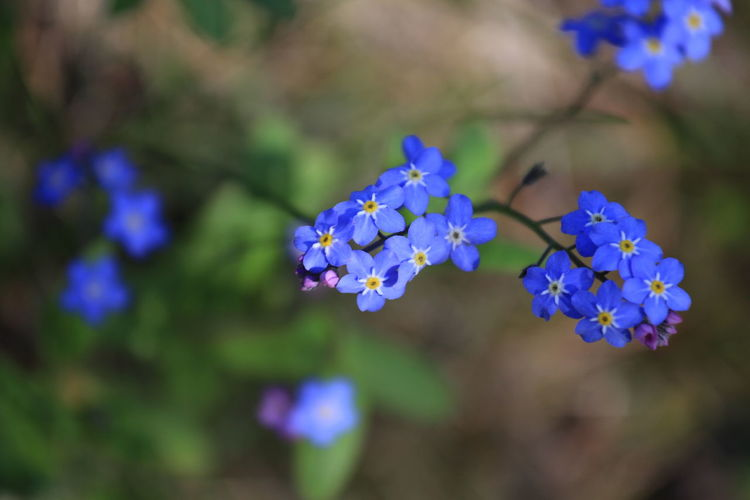 Forget-me-not flowers blooming outdoors