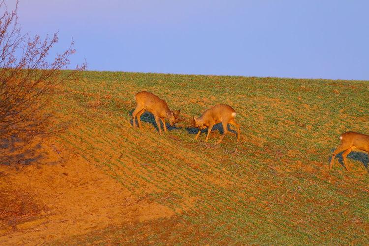 Deer grazing on field against clear sky