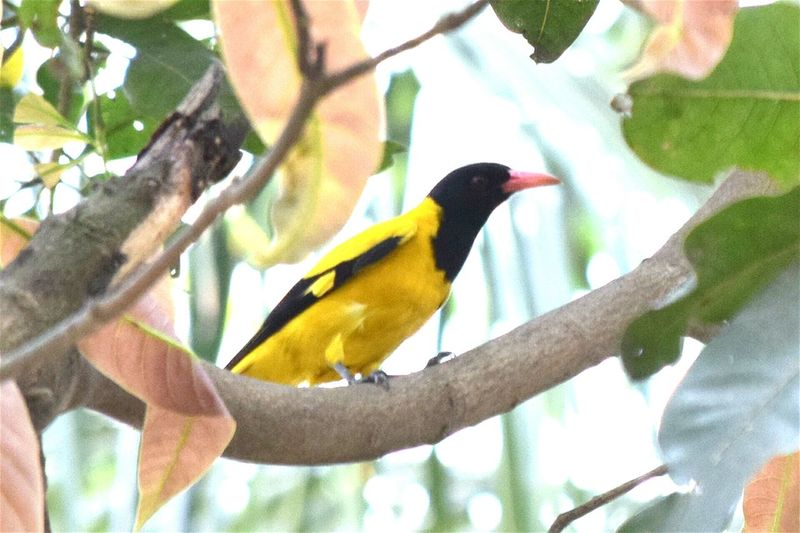 Amazing Yellow Bird Black Hooded Oriole Local name Sonabou or Istikutum... Wonder Of Nature Bird Bird Photography Cute And Sweet Showcase March EyeEm Best Shots Check This Out EyeEm Gallery EyeEm Getty Images Hello World Eye4photography  Eyeem4photography EyeEm Nature Lover Element Of Nature Check These Out Eyeem Best Image Natural Inhabitants Nature On Your Doorstep Spring Into Spring Spring Beauty Innocently Attractive Spring Urban Spring Fever