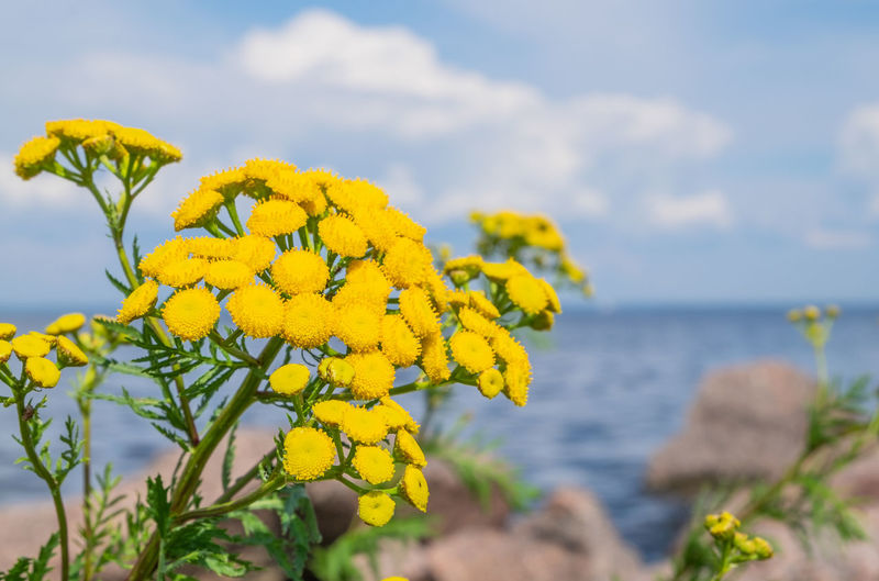 Close-up of yellow flowering plant by sea against sky