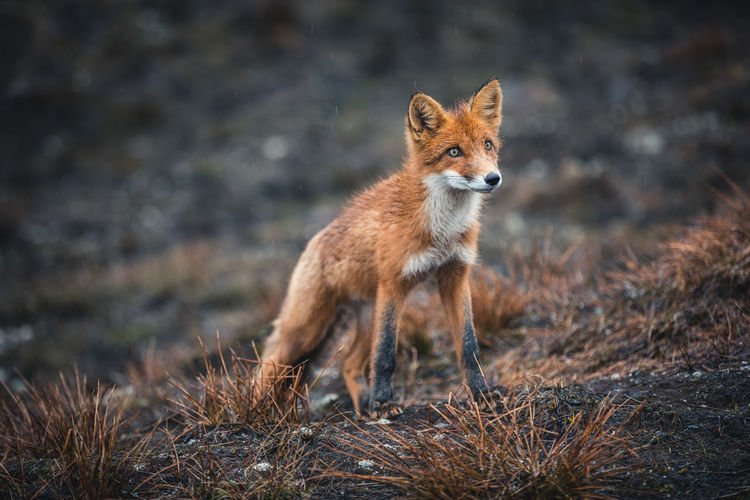 A Kamchatka fox