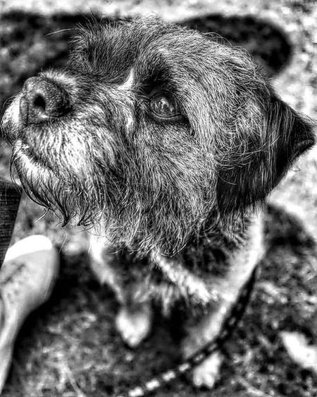 Black & White Animal Themes Blackandwhite Boarderterrier Dog Domestic Animals Low Quality Photo One Animal Pets Puppy