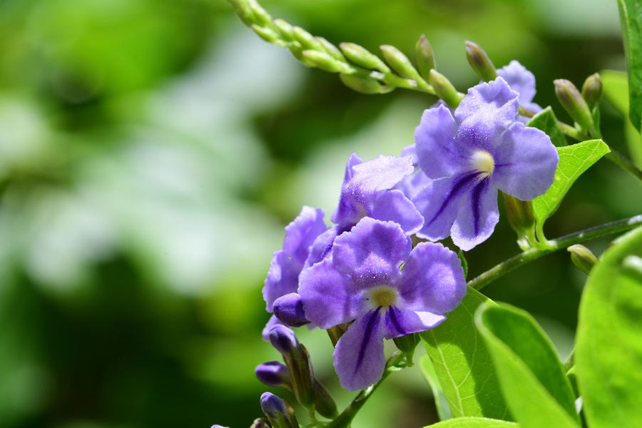 Check This Out EyeEm Best Shots EyeEm Nature Lover Freshness Growth Nature Plant Taking Photos Beauty In Nature Blooming Botany Close-up Day Duranta Flower Flower Head Focus On Foreground Fragility Macro Nature_collection No People Outdoors Selective Focus Skyflower Tropical