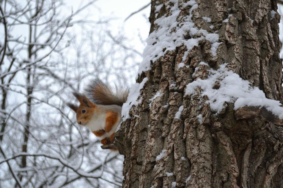 Little observer. Nikon Nature Russia Animal Portrait Bokeh Forest Squirrel Cloudy Sky Morning белка ветви дерево снег зима портрет животное небо Tree Snow Branch Winter