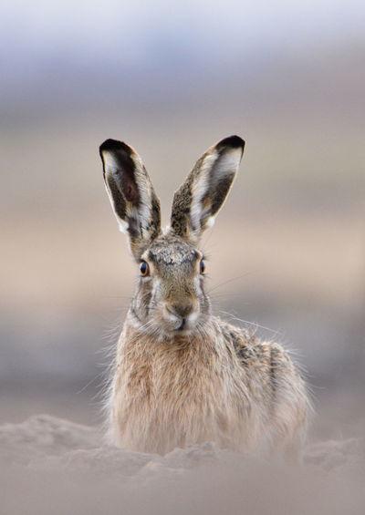 Portrait Of Rabbit