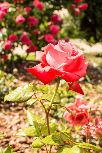 Close-up of red rose in bloom