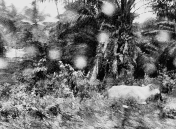 Raindrops Cow Animal Snapshots Of Life Capture The Moment Koh Samui Thailand Travelphotography Bnwcollection Bnwphotography Bnw_captures Lamai Bnw_travel Bnw_world Bnw_kohsamui Bnw_thailand
