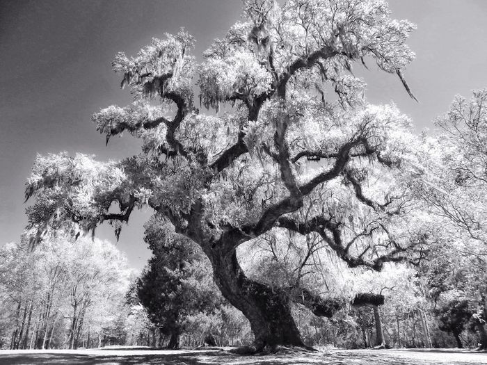 Live Oak. EyeEm