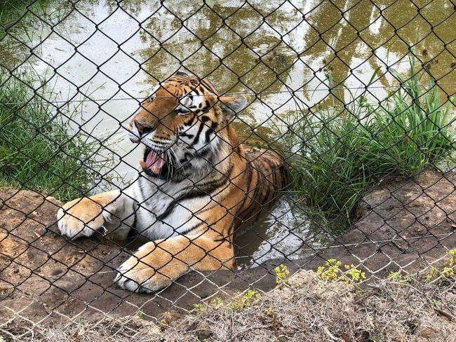 Tiger cooling In Water Cooling  Tiger One Animal Day Animal Themes Feline Outdoors No People