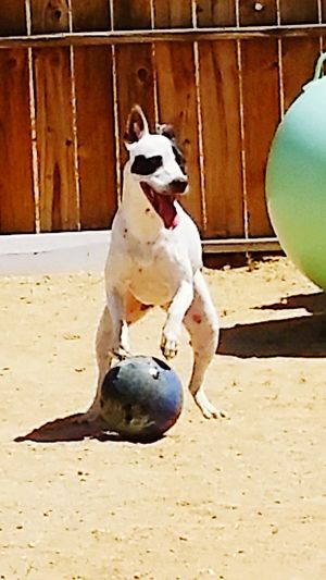 Dog Pets Domestic Animals One Animal Ball T-rex Pose Bowling Ball Animal Fun Dogs Dog❤ Happy Dog Doing His Thing Girl Dog No People Jumping Nature Day Mammal Playing Outdoors