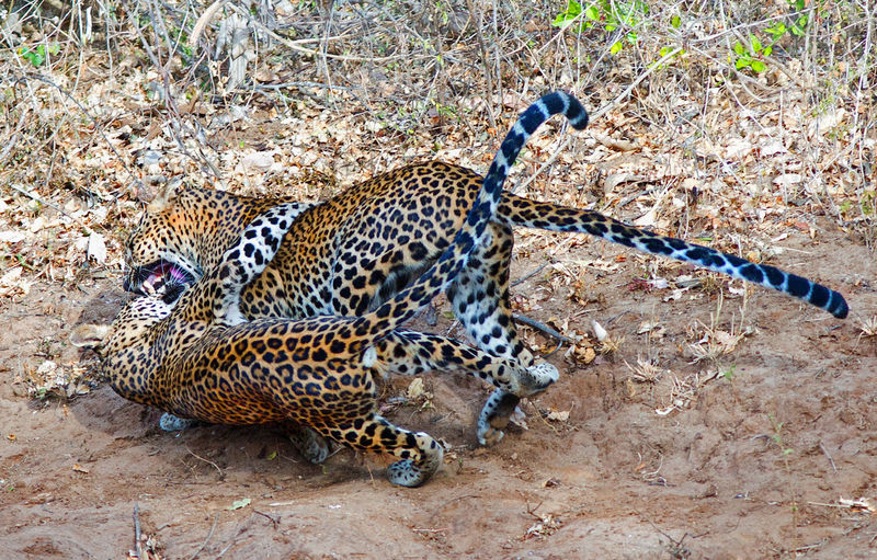 Two leopards fighting