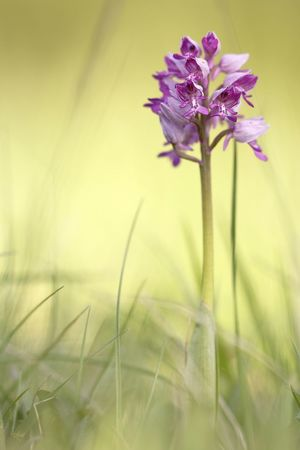 Orchis militaris, wild Orchid Beauty In Nature Blade Of Grass Close-up Day Field Flower Flower Head Flowering Plant Fragility Freshness Growth Inflorescence Land Nature No People Outdoors Petal Plant Plant Stem Purple Selective Focus Sepal Vulnerability