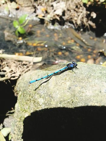 Dragonfly Dragonfly_of_the_day Libelula