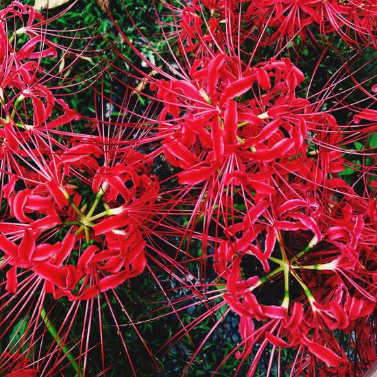 Clusteramaryllis Red Plant Growth Nature Flowering Plant Beauty In Nature Flower