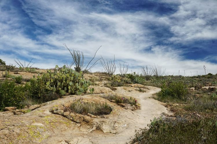 Desert plants growing on land against dramatic sky