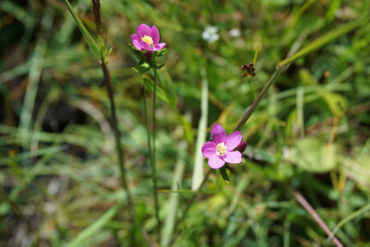 Seaside Centaury Coast Flower Kustarun By The Sea Beatiful Nature tiny flower by the coast in sweden