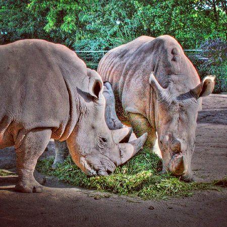 HDR Rhinos Nashorn Zoo
