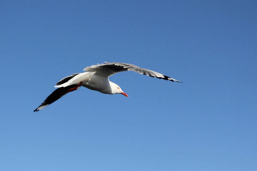 EyeEm Gallery Freedom Animal Themes Animal Wildlife Bird Birl Flying Low Angle View Spread Wings