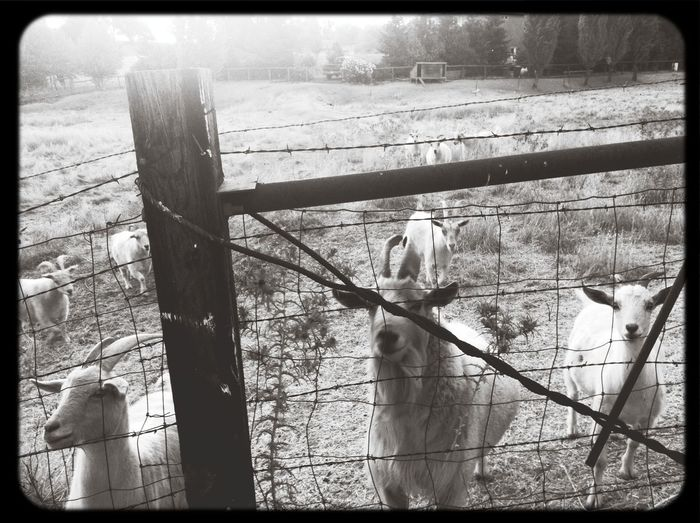 Capa Filter Goat Countryside Animals