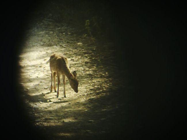 Deer ♥♥ Deersighting ranathambhor national park India Lenscap Binocularsrule Fawn Fawnmakeup