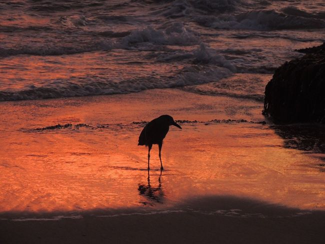Sunset One Animal Night Heron Bird On The Beach Life Is A Beach Alone In The Beach Sun Reflection On Sand Waves, Ocean, Nature Bird At Sunset Beach Photography Capture The Moment The Purist (no Edit, No Filter) Reñaca Beach , Chile