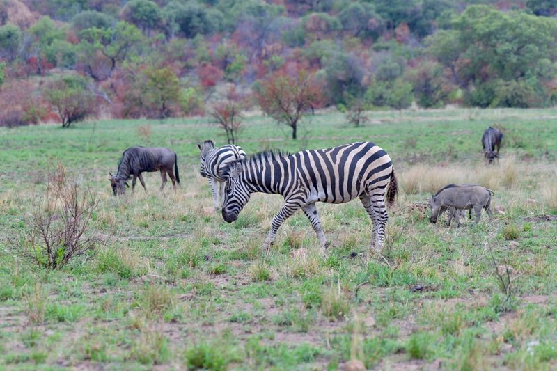 Zebra, warthogs and wildebees Animal Wildlife Animals In The Wild Zebra Striped Nature Mammal Safari Animals Grass Animal Themes Outdoors Wilderness Area No People Day Beauty In Nature Tree African Elephant Wildlife Photography Warthogs Nature Animals In The Wild Africananimals