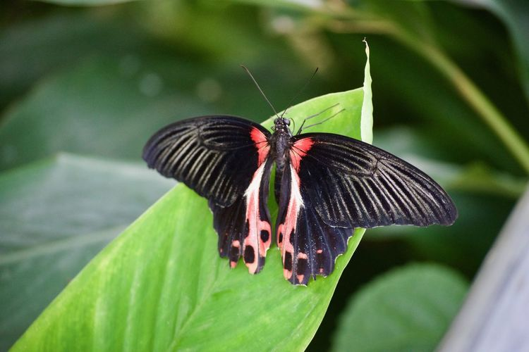 Animal Themes Animal Wildlife Animals In The Wild Beauty In Nature Butterfly Butterfly - Insect Close-up Day Focus On Foreground Fragility Freshness Green Color Growth Insect Leaf Nature No People One Animal Outdoors Perching Plant Spread Wings