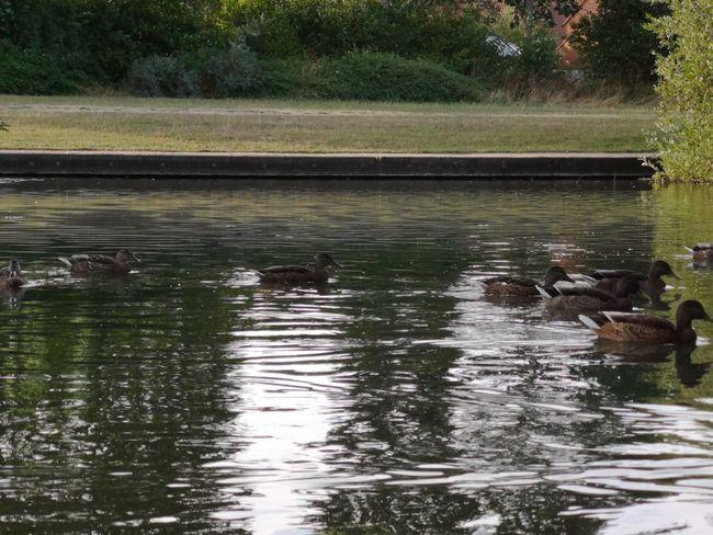 Nofilter Bird Water Tree Swimming Swan Lake Black Swan Waterfront Water Bird Reflection Swimming Animal Freshwater Bird