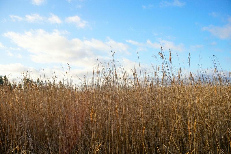 Reeds at Lake