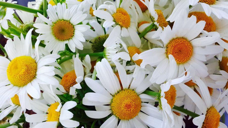 Full frame shot of white daisy flower