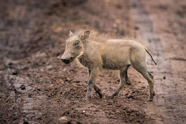 Close-up of warthog walking on field
