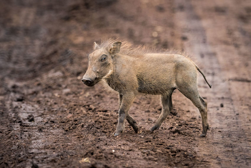 Animal Animal Themes Animal Wildlife Animals In The Wild Day Full Length Mammal Nature No People One Animal Outdoors Warthog Wildlife
