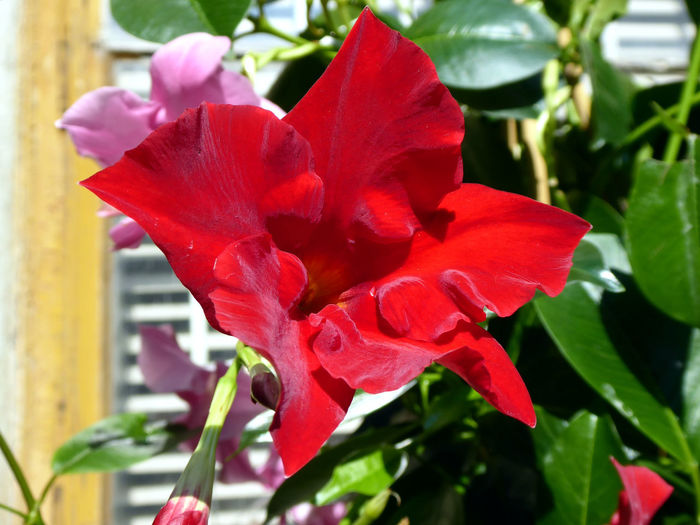 Chilenischer Jasmin🤔😍😍😍 Mandevilla For My Friends 😍😘🎁 Nature Is My Sanctuary 🌳💚 Nature Is My Religion Lucky Me🦄 View From Home,second Home🙃😍 Flower Head Flower Red Leaf Poppy Water Petal Rose - Flower Peony  Springtime In Bloom Blossom Plant Life