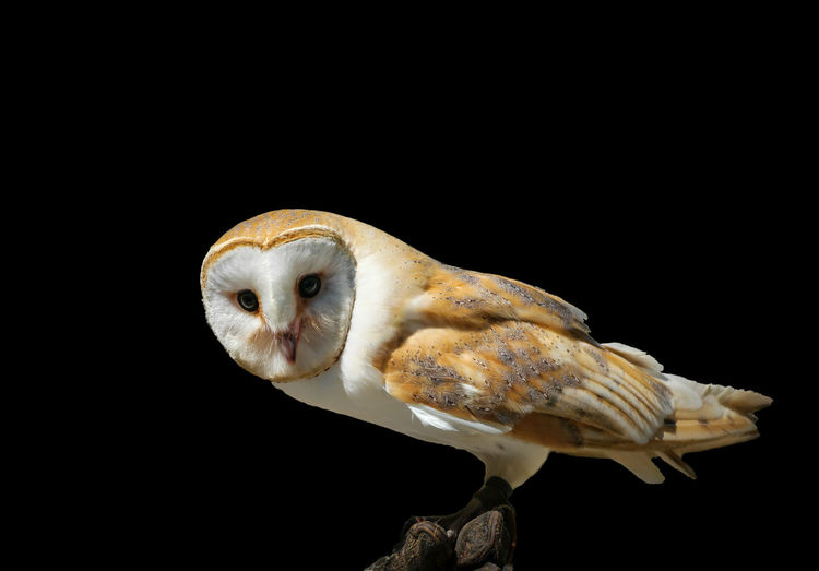 Close-up of owl perching against black background