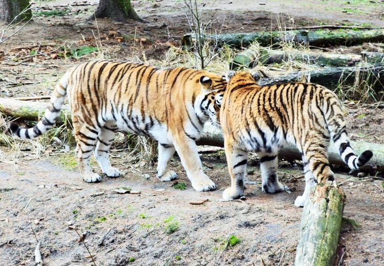 Time for a sunday walk. Animal Animal Themes Tiger Animals In The Wild Big Cat Mammal Animal Wildlife Feline One Animal Carnivora Day No People Vertebrate Endangered Species Zoo Land Nature Walking Outdoors Naturelovers