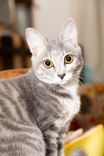 吞吞 Pets Portrait Domestic Cat Looking At Camera Intelligence Close-up Cat Ear At Home Yellow Eyes