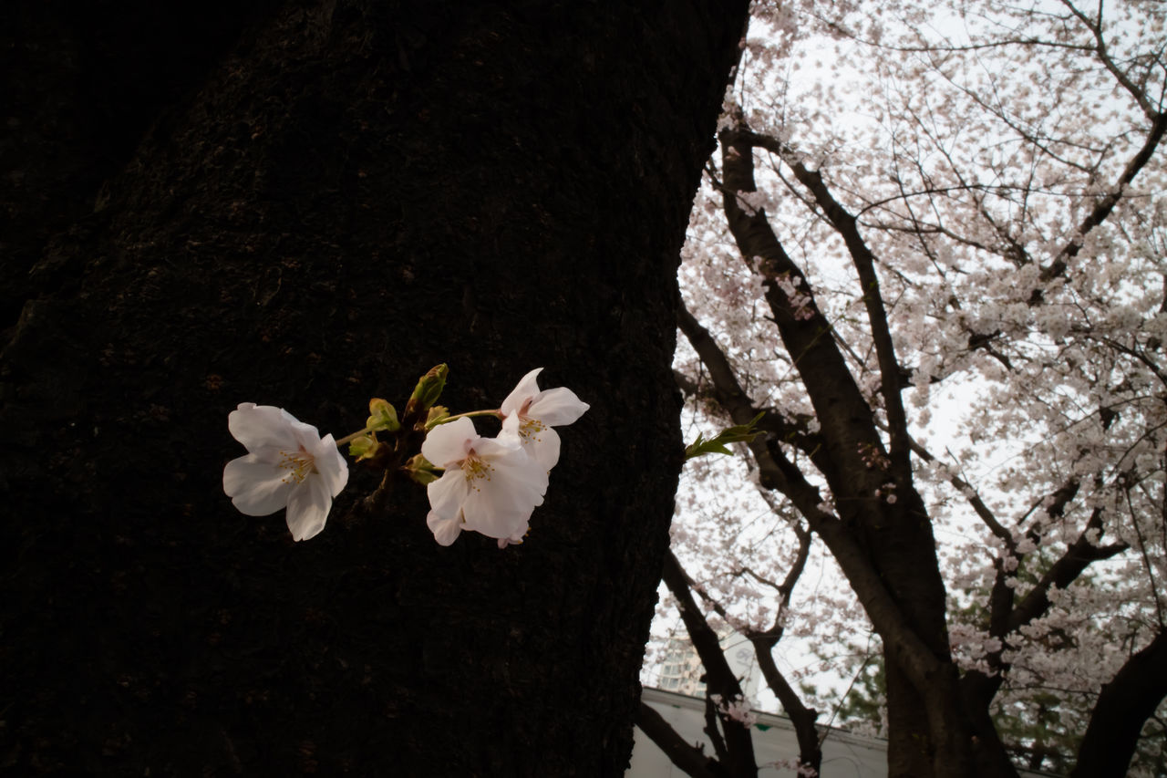 flower, blossom, tree, white color, fragility, cherry blossom, apple blossom, springtime, branch, apple tree, orchard, growth, cherry tree, freshness, petal, beauty in nature, flower head, nature, botany, blooming, no people, spring, stamen, plum blossom, day, outdoors, close-up