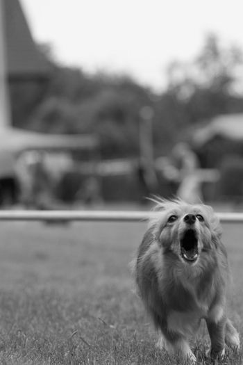 Bellender hund Agility Animal Themes Bellend Close-up Day Dog Domestic Animals Focus On Foreground Hund Mammal Nature No People One Animal Outdoors Pets Rennen
