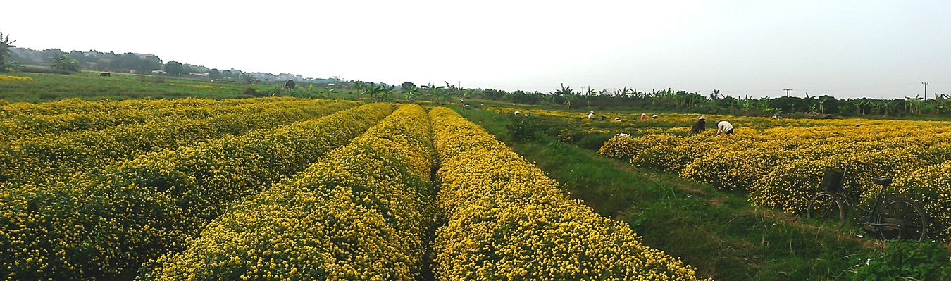 Vietnam Hưng Yên Away From The City Back To Country Chrysantheum Field 2016 LastWeekend  Nature Beauty Fresh Air