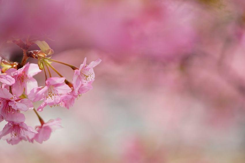 河津町の河津桜 Sony α♡Love SONY ILCE-7M2 Sukura Kawazu-zakura Cherry Blossoms Flower Pink Color Nature Beauty In Nature Fragility Springtime Petal Blossom Flower Head Close-up Outdoors No People Growth Freshness