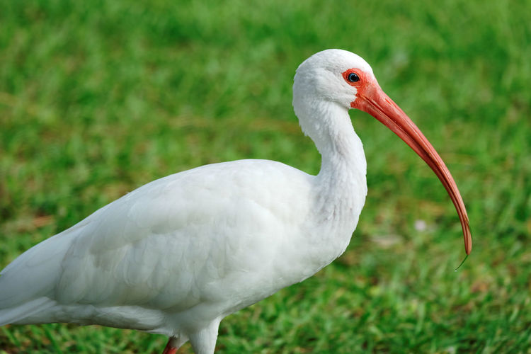 Close-up of american white ibis on grassy field