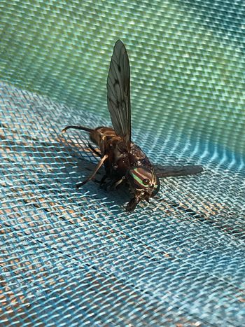Adult horse fly, beautiful eyes, dead, insect, winged, nature, Outdoors