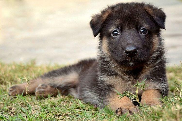 GSD Gsdpuppy Germanshepherd Canine Dog Pets Cute Baby Animal Black Mammal