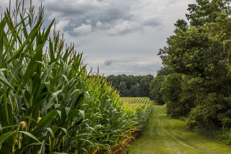 Corn rows Agriculture Beauty In Nature Cereal Plant Corn Corn Rows Cornfield Crop  Crops Farm Field Freshness Green Color Growth Landscape Rural Scene Scenics
