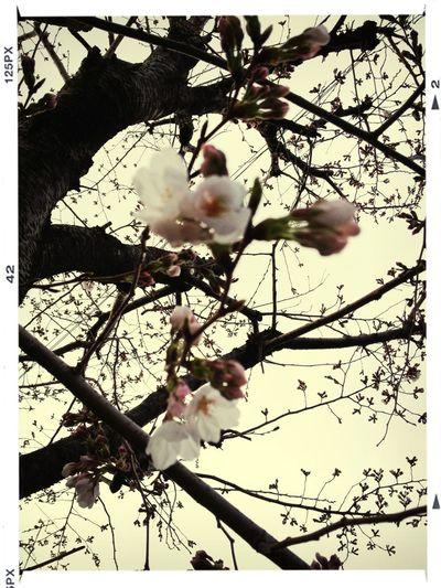 箕面の桜はようやく咲き始めたところです。