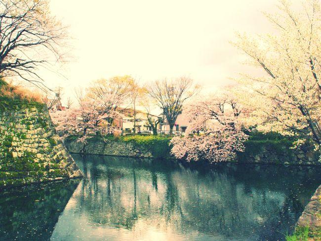 静岡まつり Cherry Blossoms Spring Shizuoka-shi