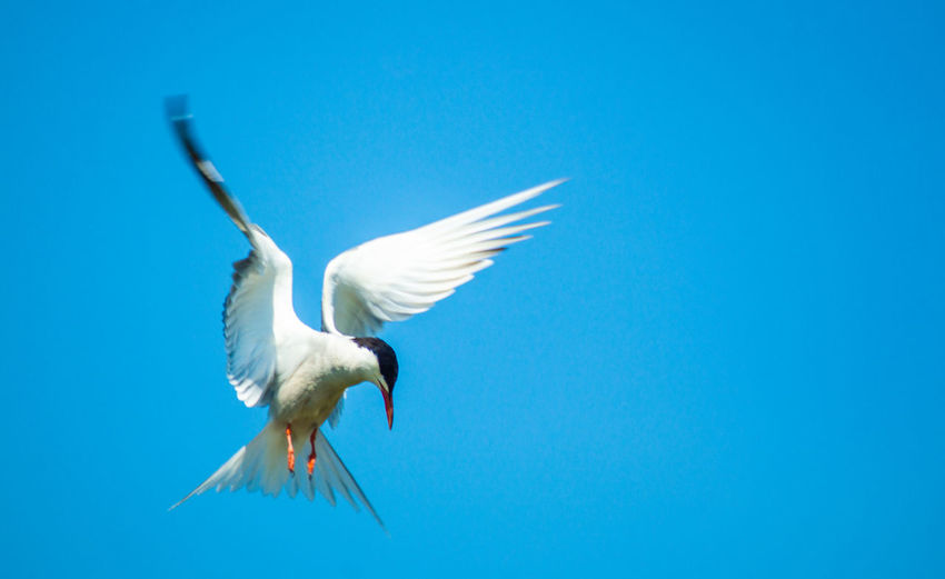 Low angle view of bird artic term flying against blue sky