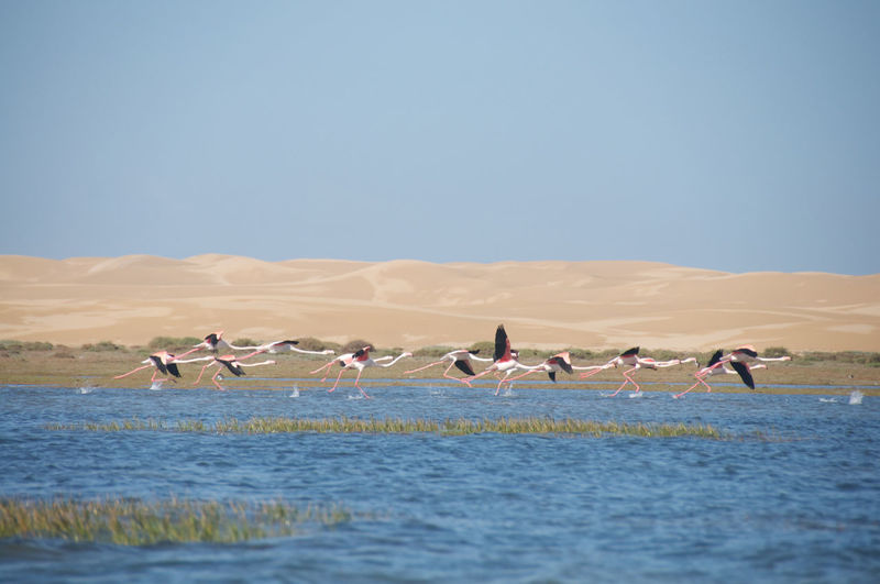 Flamingos Flying Over Lake Against Clear Sky