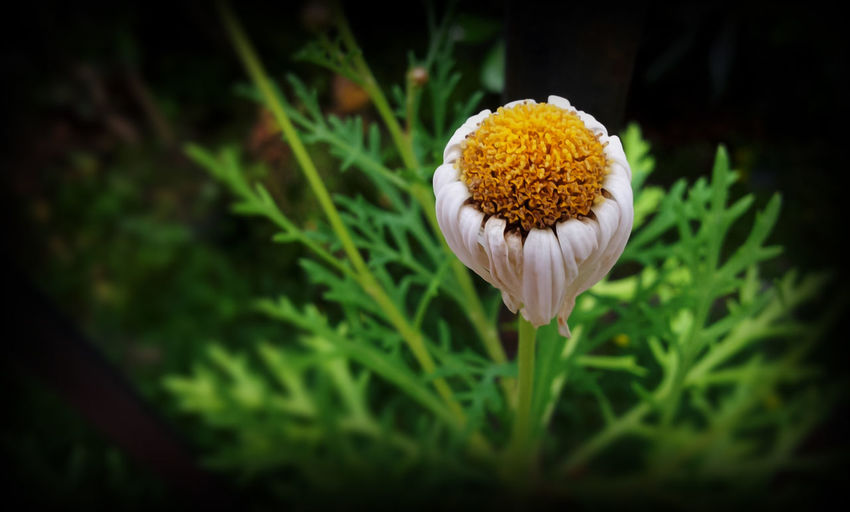 Leucanthemum #EyeEmEsterlinda #italy #life #White #yellow Beauty In Nature Flower Fragility Green Color Nature Petal Pollen Single Flower Tranquility